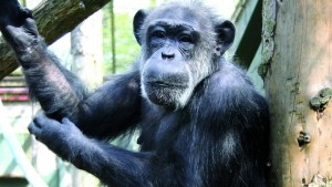 Original PG Tips chimp passes away