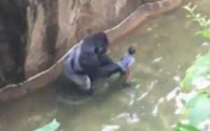Parents of boy who fell in Gorilla enclosure to be charged with its death