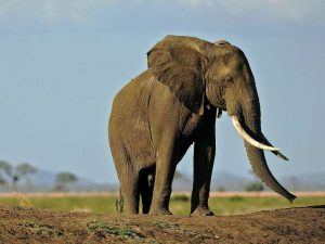 Elephant kills girl by throwing rock at her using its Trunk