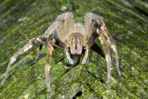 Spiders which cause four-hour erection followed by death found in ASDA bananas