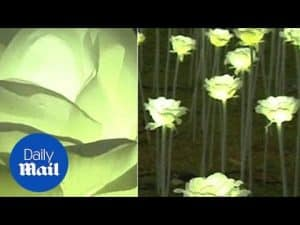 25,000 white roses for Valentine's Day: Hong Kong lit up – Daily Mail