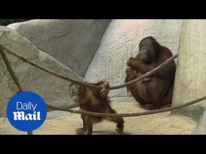 Baby orangutan born at Brookfield Zoo makes her debut – Daily Mail