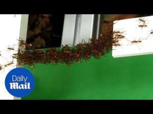 Fascinating insight into algorithms army ants use to build bridges – Daily Mail