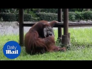 Orangutan is smoking a cigarette – Daily Mail