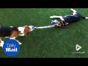 Paw pulling!: Two adorable beagles play a game of tug of war – Daily Mail