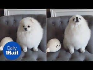 Pomeranian Ang Pang hysterically mimics mini me teddy bear – Daily Mail