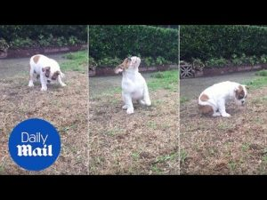 What is THAT?! Bulldog puppy's adorable reaction to rain – Daily Mail