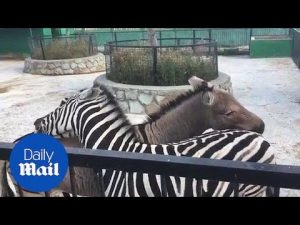 Zebra's show team work as they scratch each other's backs – Daily Mail